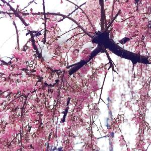 雪桜 * 志村けんさん( ;∀;)