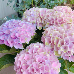 可愛い紫陽花発見??