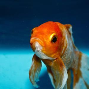 カメルーンの青い魚