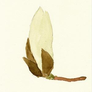 白木蓮 Magnolia Denudata