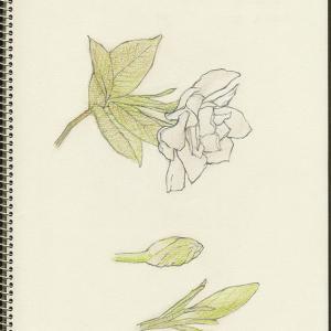 クチナシ Gardenia X