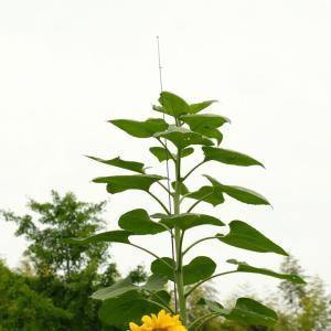 巨大向日葵 高さ3.4m
