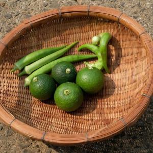 カボス初収穫(雨が降らない・・・)