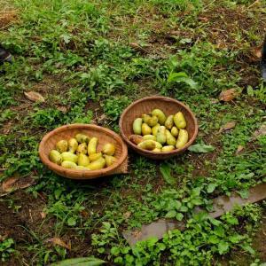 ポポー収穫