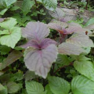 紫蘇の新芽を間引いて食べる日々!
