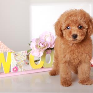 ☆10月【最新仔犬ちゃん情報】♡レッドの姉妹♡