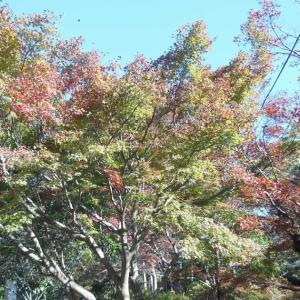 鎌倉:紅葉・黄葉情報!~源氏山公園・葛原岡神社~2019/11/16
