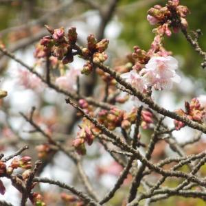 鶴岡八幡宮の桜と梅2020/01/22