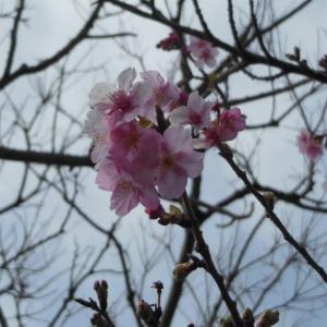 江の島の河津桜が咲き始めました!2020/01/25