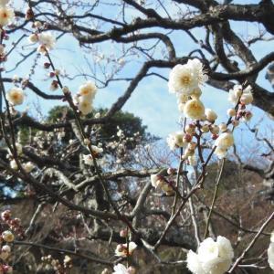 もうすぐ見頃!長谷寺の冬至梅~鎌倉~2020/01/25
