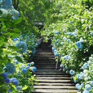 北鎌倉あじさい情報!だいぶ色づいた明月院ブルー2020/06/05