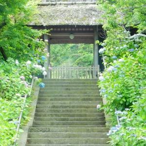 北鎌倉:東慶寺山門前のアジサイ2020/06/12