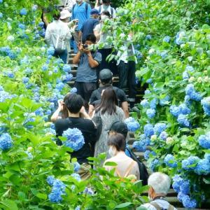 雨上がり後の明月院ブルー~北鎌倉:明月院~2020/06/12
