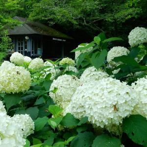 鎌倉アジサイ情報!浄妙寺のアナベル2020/06/23