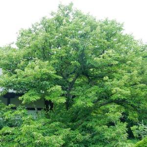 鎌倉:浄光明寺の菩提樹と泰山木2020/07/07