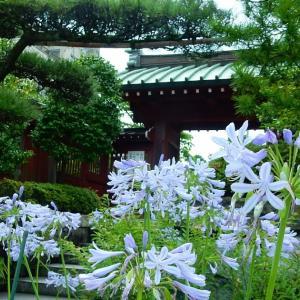 鎌倉:大巧寺のアガパンサス2020/07/07