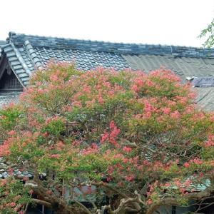 鎌倉:本覚寺のサルスベリ2020/09/22