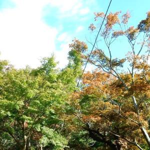 鎌倉:紅葉・黄葉情報~源氏山公園・葛原岡神社~2020/10/24