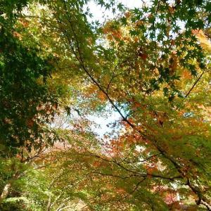 もう少しなんですが。~鎌倉:長谷寺の紅葉・黄葉~2020/11/30