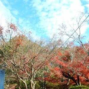 モミジ後半とこれから色づく葛原岡神社のイチョウ~源氏山公園~2020/11/30
