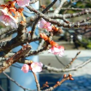 三本目の河津桜が咲き始めました。~初詣:鎌倉宮~2021/01/25