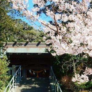 鎌倉:甘縄神明神社の玉縄桜2021/02/25