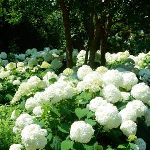 鎌倉:浄妙寺の白い紫陽花:アナベル2021/06/09
