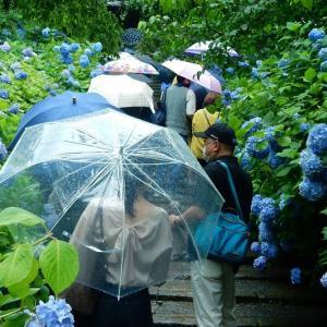 北鎌倉のアジサイ!明月院ブルー2021/06/16