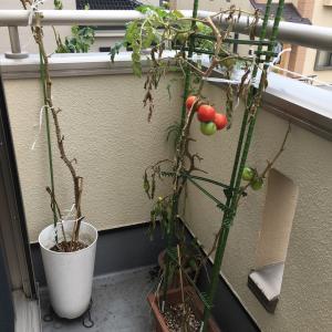 空中トマト?