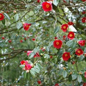 アロマセラピーと平家谷つばき園