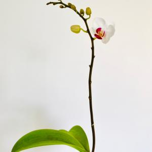 蘭が花開く