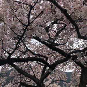 桜の木の下で 新型コロナウイルス向けの検査「PCR検査」