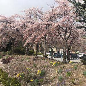 桜 シーズンお終わりに