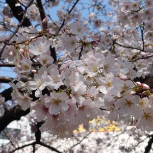 世の中にたえて桜のなかりせば