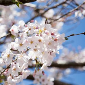 2年ぶりの桜 ~徳島県津乃峰神社~