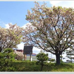 4月のお出かけ♪鎌足桜を巡って近場にドライブ<1>