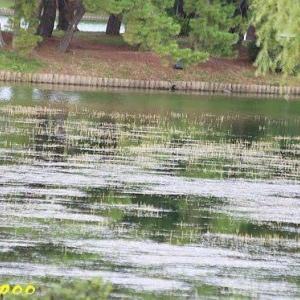 大濠公園の水生植物
