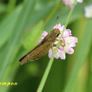 オオチャバネセセリ、アカタテハ、他、昆虫