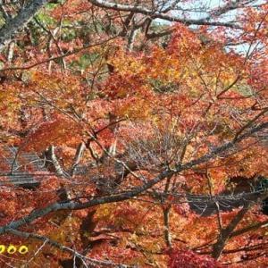 竈門神社の紅葉