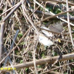 ミヤマホオジロ、ジョウビタキ、他野鳥