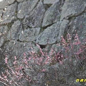 福岡城址の梅園