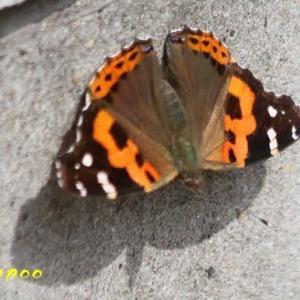 アカタテハ、モンシロチョウ、他昆虫