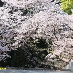 桜、ハナミズキ、他、野の花