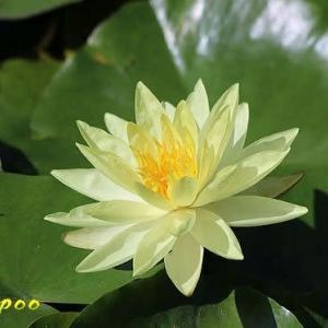 スイレン、カキノキダマシ、他福岡城址の植物