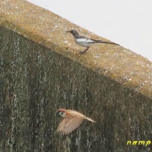 セグロセキレイ若鳥、シジュウガラ若鳥、コスズメ、他