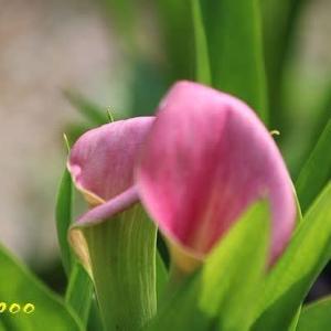モモイロカイウ、トウガラシ、他植物