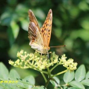 湿原で見かけた蝶