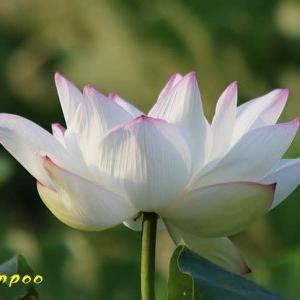 ハスの花 マツバボタン、他植物