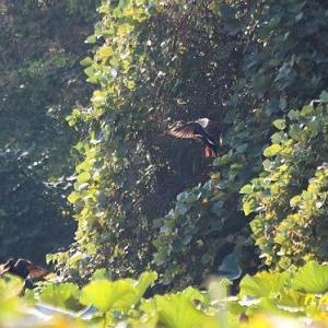 カルガモの飛翔、バンの若鳥、他野鳥