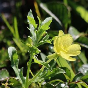 メマツヨイグサ、ザクロ、他身近な花